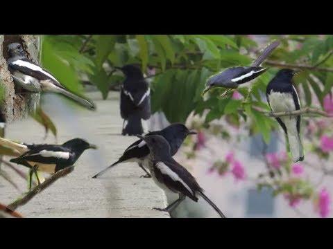 Mengintip Burung Kacer Di Alam Liar ''Taman 288 &CKS Taipei''