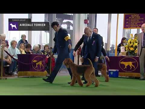 Airedale Terriers | Breed Judging 2019