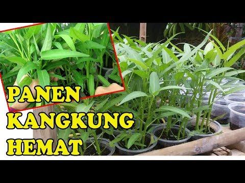 #TIS#CARA MUDAH Panen Kangkung Cepat&Berlipat |Semai,Tanam |POC |Harvesting Vegetables Efficiently