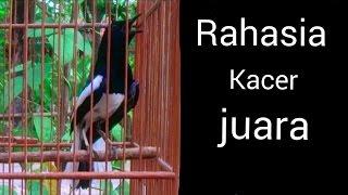 Rahasia burung kacer gacor - Rahasia kacer juara