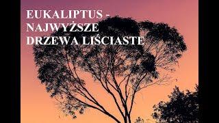 Eukaliptus - NAJWYŻSZE DRZEWA liściaste