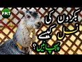 How to Identify Goats Breed? | Bakron Ki Nasalen Kese Pehchanen? | بکروں کی نسل کیسے پہچانیں؟