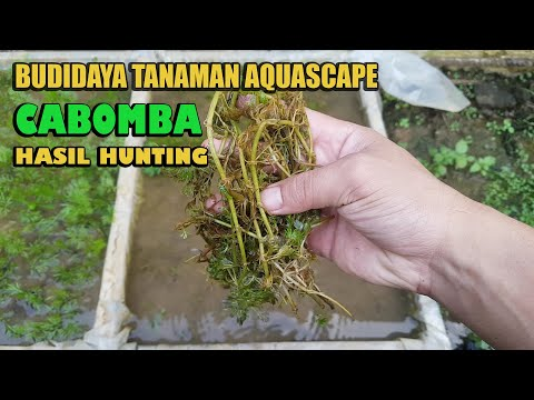 budidaya-tanaman-aquascape-(cabomba)-hasil-dari-hunting
