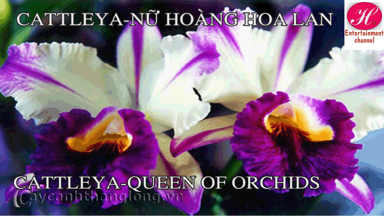 Cattleya Orchid Queen Of Orchids So Beautiful Flowers Youtube