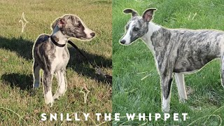 Meet Snilly: Whippet Puppy to 1 Year Old