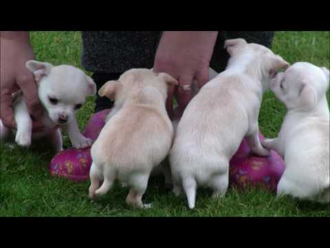 Chihuahua Puppies 29th March 2017