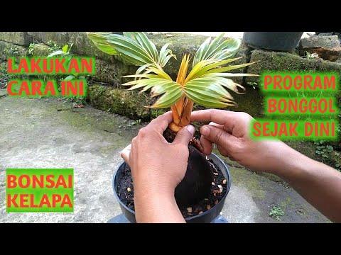 Bonsai Kelapa Cara Mudah Program Bonggol Si Gading Kerdil Youtube