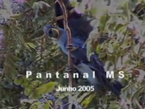 Pantanal com Augusto Xavier, Arara Azul
