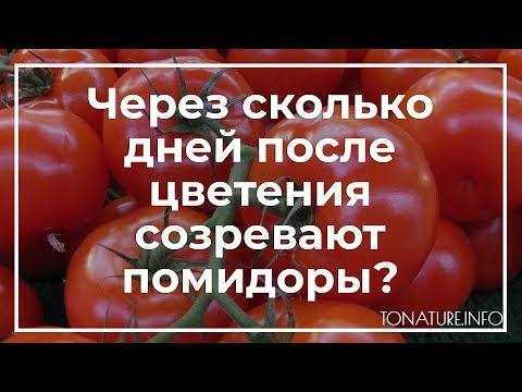 Через сколько дней после цветения созревают помидоры? | toNature.Info