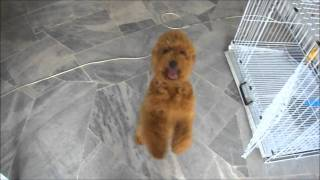 Poodle Hyperactive