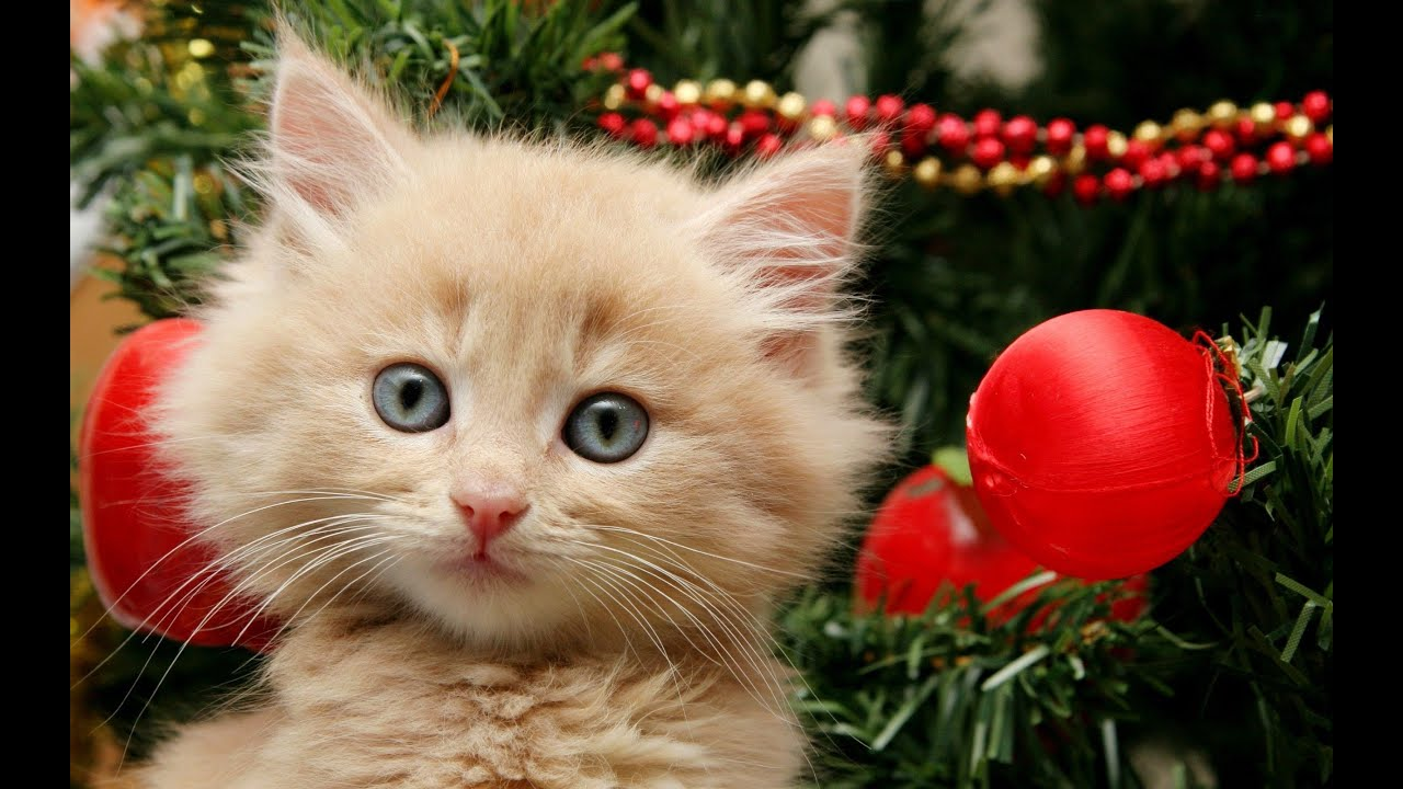 getting a kitten for christmas compilation youtube