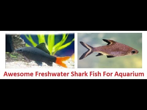 Awesome Freshwater Shark Fish For Aquarium