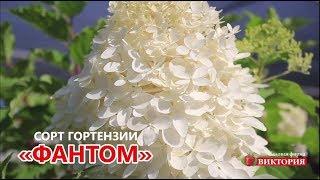 видео Купить саженцы гортензии Украина