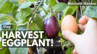 How And When t๐ Harvest Eggplants ~ Easy and Quick