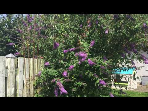 Butterfly bush -  Buddleja