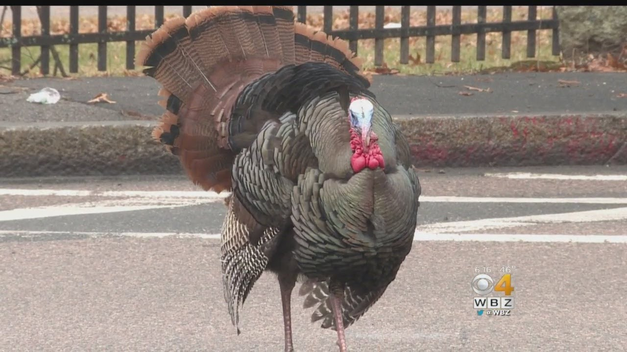 Larry The Turkey Causing Traffic Jams In West Roxbury
