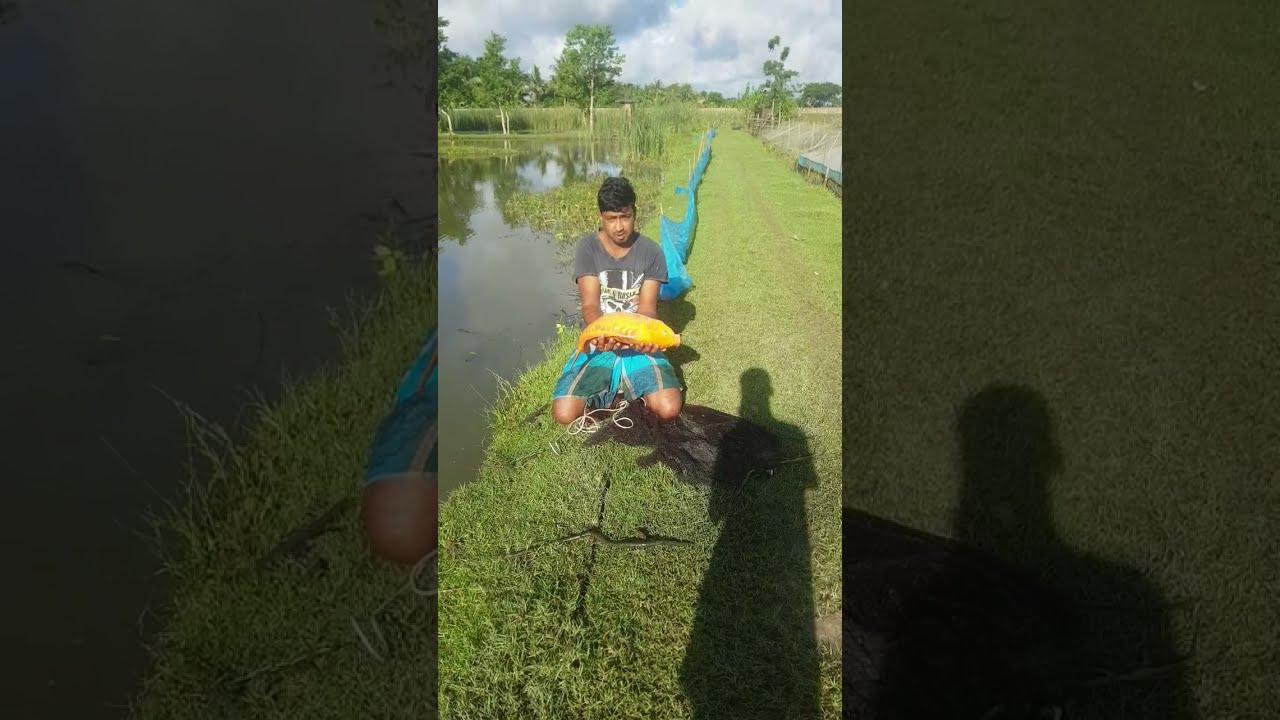 Big golden Aquarium Fish | fishing videos #shorts