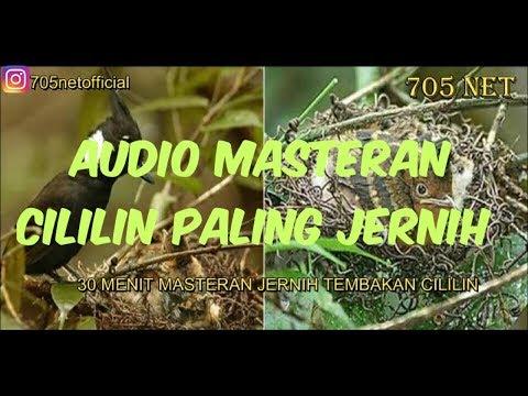 Masteran Mp3 Suara Cililin - Bersih & Jernih Seperti Suara Burung Asli