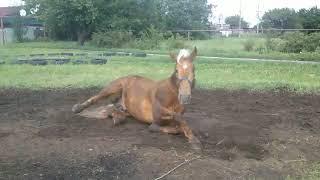 Красивая лошадь кувыркается в пыли