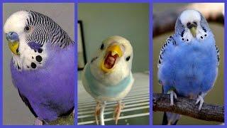 3 часа - Ну-у Очень Веселый Волнистый попугайчик :)