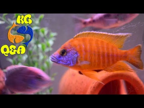 How To Determine Sex In Cichlids? What To Do When Cichlids Wont Grow? How To Fix Yellow Water?