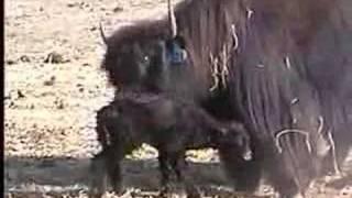 Newborn Tibetan yak calf being cleaned by it's mom. Spring Brook Ra...