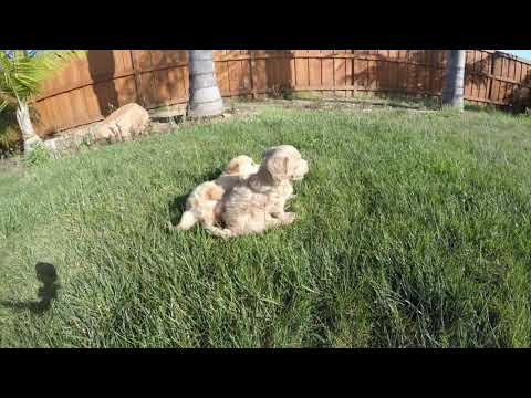 Roman, Ryder, Raquel - Male & female Mini Goldendoodle designer puppies for sale in San Diego !!