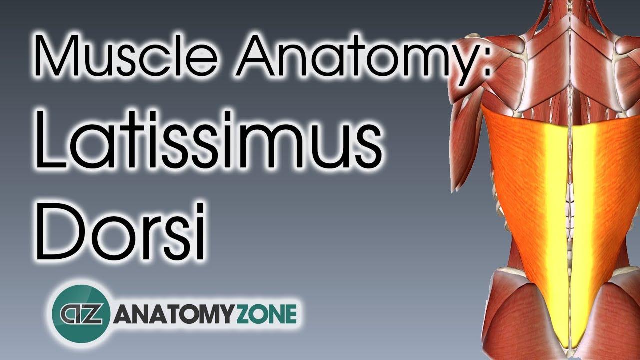 Latissimus Dorsi   Muscle Anatomy