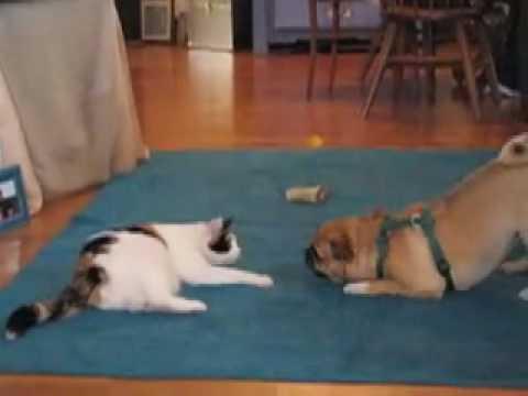 Cat vs. Pug