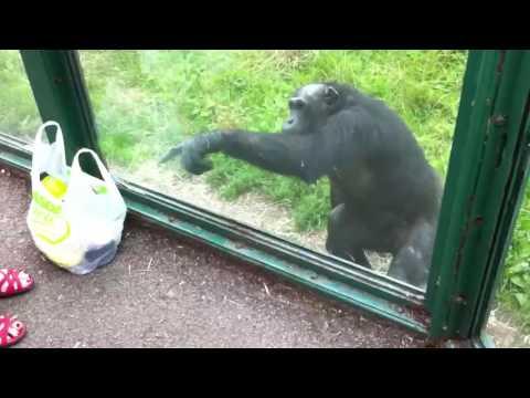 Download Youtube: Smart Chimpanzee (Akıllı Şempanze) ~ 2 . [Wants to Drink Coke]