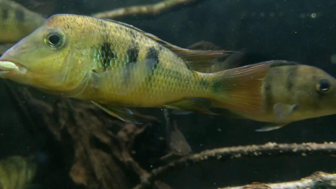 'Geophagus' pellegrini (wild) bij Aquarium Speciaalzaak Utaka