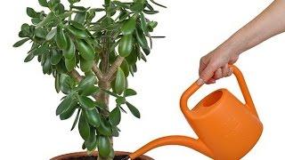 Как посадить ДЕНЕЖНОЕ ДЕРЕВО по фен шуй, чтобы оно привлекало богатство