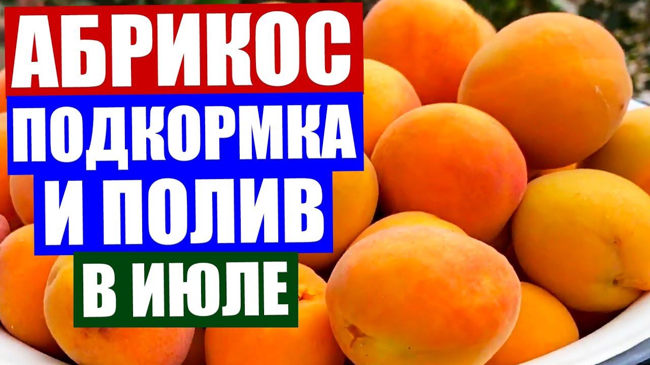 Абрикос в июле. Обязательная подкормка и полив абрикоса сразу после сбора богатого урожая