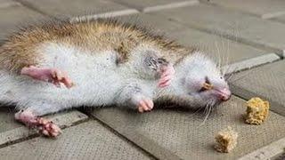 Как уничтожить подвальных крыс?|СЭС Компания БИОТРИКС(, 2015-11-30T18:00:43.000Z)