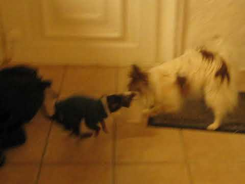 GALYA (7ans) Epagneul papillon et OPALE (3mois) Ruskyi Toy