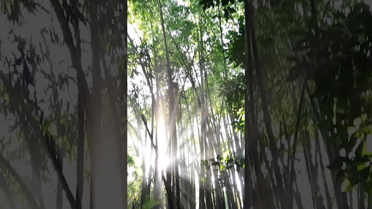 Bamboo Dendrocalamus asper - harvesting - Bambu Nusa Verde