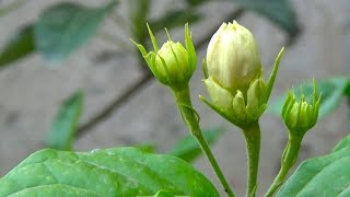 Jasmine Plant Care and Growing Season !