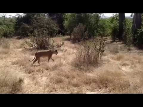 Lioness calling her cubs in Ruaha National Park