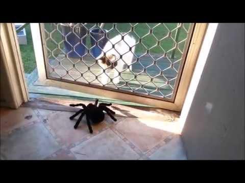 Giant Tarantula......?