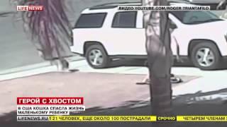 видео Кошка спасла ребенку жизнь, отбив его у собаки