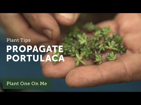 Ep 106.  How to Propagate Portulaca