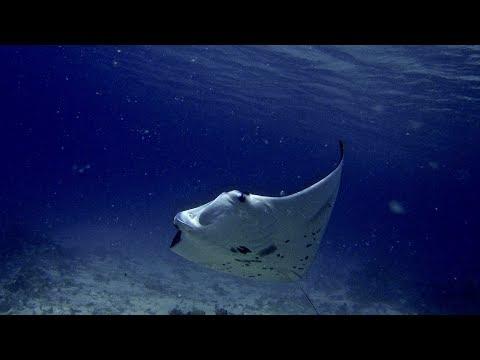 Manta Rays of Kwajalein Atoll