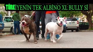 HE IS A LEGEND (SİMON)  TURKEY'S ONLY ALBINO WHITE AMERICAN BULL XL