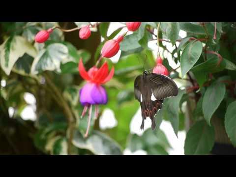 フクシアとアゲハ蝶2