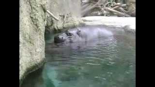 Pygmy Hippo Porn at San Diego Zoo