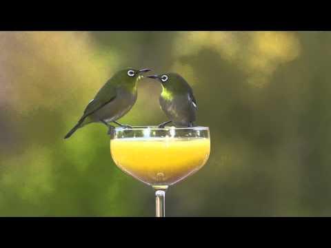 Feed The Birds ~ Japanese White-eye and Brown-eared bulbul オレンジジュースを飲むメジロとヒヨドリ