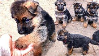 ЩЕНКИ Немецкой овчарки от Дикса и Флаи, 1 мес. Puppies German Shepherd 1 month.
