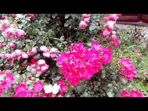 Штамбовая роза Pomponella ( Kordes Германия,2005)
