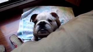 イングリッシュブルドッグ・春君 仔犬2ヶ月♂。イタリア育ち。吠えたこ...