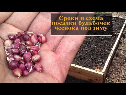Как сажать бульбочки чеснока под зиму